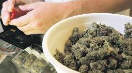 Canadá, Israel y Chile quieren comprar marihuana a Uruguay para investigación y producción de medicamentos