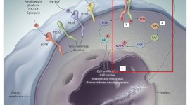 Hallan una debilidad en el gen mutado más común en diversos cánceres