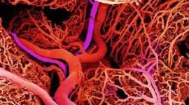 Científicos españoles demuestran cómo el magnesio previene y revierte el endurecimiento de los vasos sanguíneos