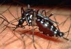 Científicos de la UNLP descubren un hongo acuático que puede combatir al mosquito transmisor de chikungunya y dengue