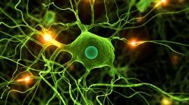 Científicos argentinos descifran cómo se forman neuronas de la médula espinal y el cerebro