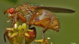 Investigadores de La Plata buscan en el corazón de moscas una terapia cardiovascular