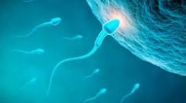 Científicos del Conicet descubren mecanismo clave para entender y tratar la infertilidad masculina