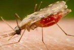El parásito de la malaria desarrolla resistencia a los medicamentos