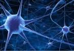 Describen mecanismo responsable de la formación de extensiones nerviosas