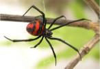 Confirman la eficacia en todo el país del antídoto para las arañas viuda negra