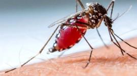 Científicos brasileños crearon una partícula de almidón de maíz y aceite de tomillo para combatir al Aedes aegypti
