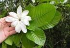 Investigación argentina: Una gardenia exótica podría ser la base de un fármaco para la gota