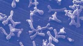 Científicos del CONICET estudian fármaco a partir de bacteria mamaria con capacidades desinflamatorias