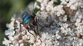 Larvas de moscas elaboran una sustancia que puede curar heridas crónicas