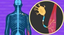 Desarrollan un fármaco para enlentecer la progresión de la esclerosis lateral amiotrófica