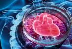 Los corazones adultos no contienen células madre