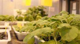 Plantas biofábricas de antifúngicos